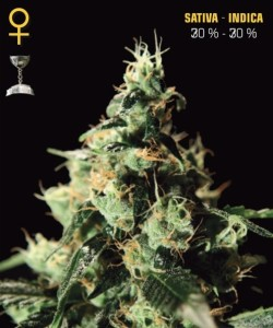 Chem Dog Greenhouse Seeds