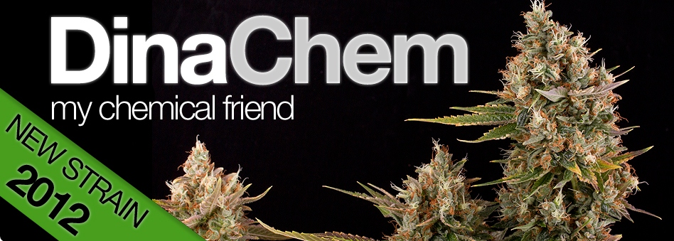 Latest Chem Dog Weed Seeds For Sale - Free Weed Seeds With Every Order