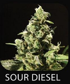 Chem Dog Sour Diesel Seeds