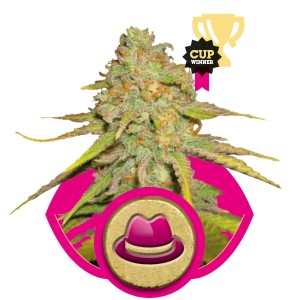 OG Kush Seeds - Royal Queen Seeds