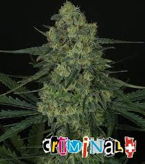 Ripper Seeds Criminal +