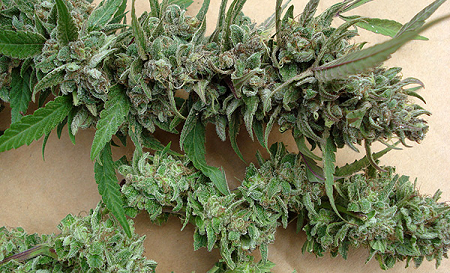 Become A Marijuana Seed Connoisseur Marijuana Seeds For Sale