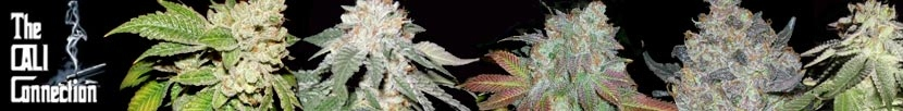 View Complete Selection of Cali Connection Seeds - Order Today Recieve Free Weed Seeds!