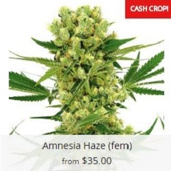 Buy Amnesia Haze Cannabis Seeds