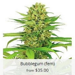 Buy Bubblegum Cannabis Seeds