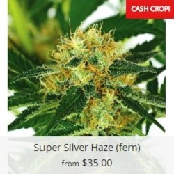 Buy Super Silver Haze Cannabis Seeds