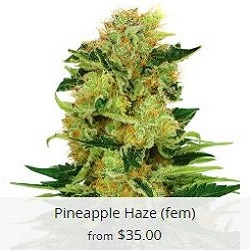 Pineapple Haze Seeds