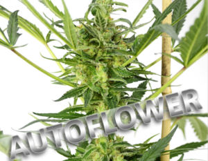 Buy Blueberry Auto Seeds