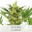 AK 47 Seeds